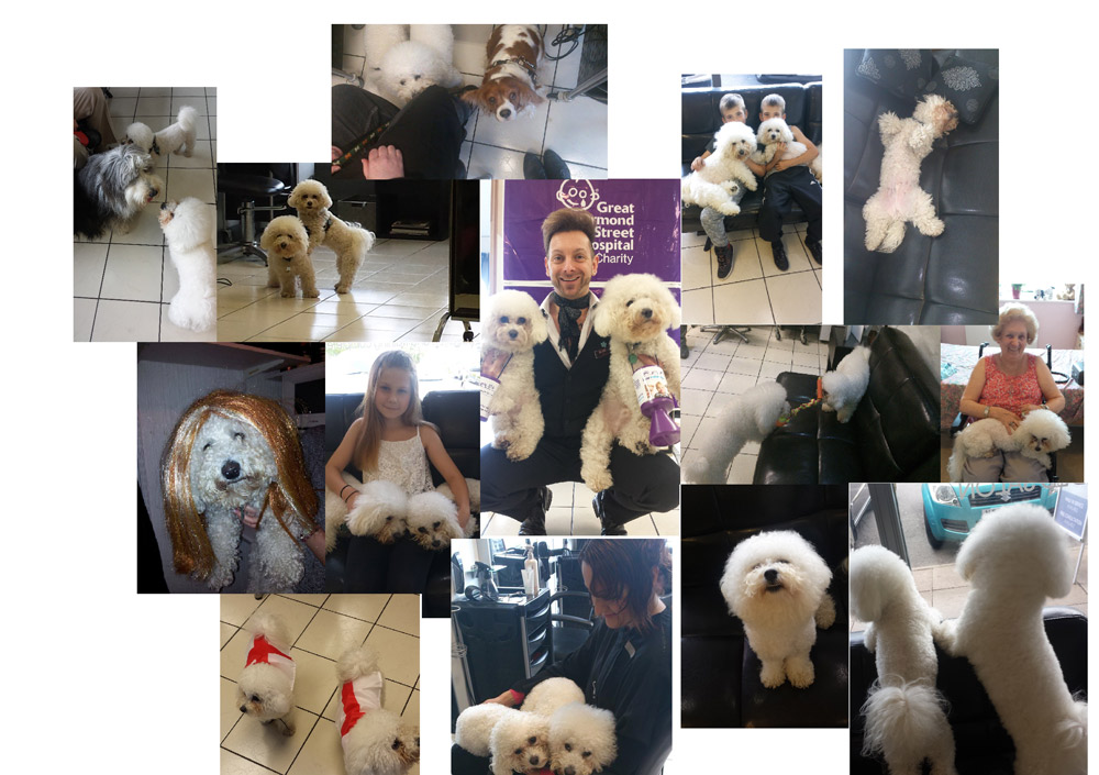 Blaze Bichons collage...